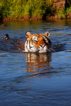 Bengal Tiger (Panthera Tigris Tigris), captive , adult male, critically endangered. Bozeman, Montana, United States