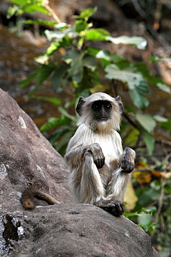 Common Langur Monkey, Gray Langur Monkey, Hanuman Monkey (Semnopithicus Entellus), wild. Bandhavgarh Tiger Reserve, India