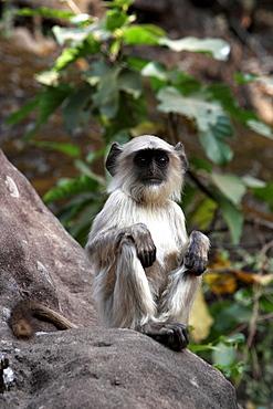 Common Langur Monkey, Gray Langur Monkey, Hanuman Monkey (Semnopithicus Entellus), wild. Bandhavgarh Tiger Reserve, India