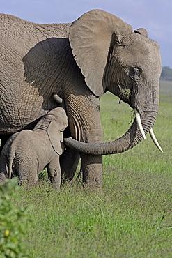 African Elephants (Loxodonta africana) wild adult female with juvenile. Amboseli National Park, Kenya.