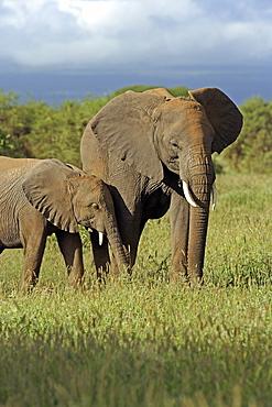 African Elephants (Loxodonta africana) wild adult female and juvenile. Amboseli National Park, Kenya.
