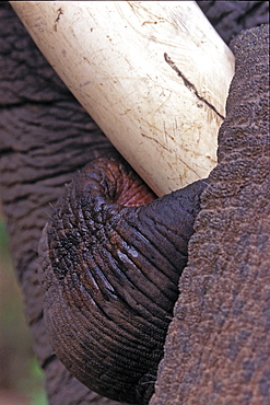 Asian Elephant, Indian Elephant (Elephas maximus indicus) captive adult male. Bandhavgarh Tiger Reserve, India.
