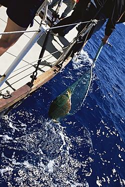 Loggerhead Turtle (Caretta caretta) being captured for tagging project. Azores