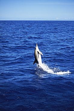 Short-beaked Common Dolphin (Delphinus delphis) back leap. Azores