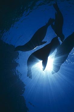 Californian Sealions (Zalophus californianus), four animals in silhouette, La Paz, Mexico, Sea of Cortez.