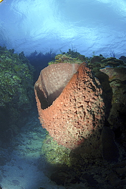 Barrel sponge (Xestospongia muta), large barrel sponge in spur and groove reef, Little Cayman Island, Cayman Islands, Caribbean