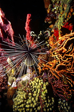 Long Spined Sea Urchin (Diadema antillarum), set amidst various colourful sponges and sea fans, Anse Chastenet, St Lucia, Caribbean.