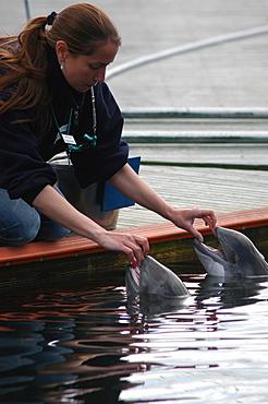 Trainer with two captive Harbour porpoises (Phocoena phocoena) Kerteminde, Denmark   (RR)