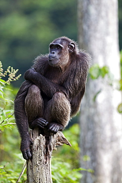 Rehabilitated orphaned chimpanzee (Pan troglodytes) released back into natural habitat, Parc de la Lekedi, Haut-Ogooue, Gabon, Africa