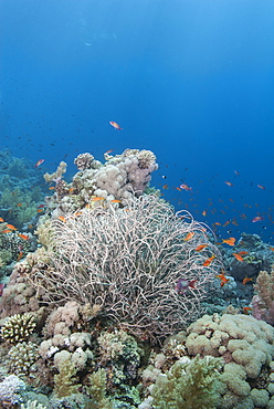 Tropical coral reef with a sea plume (Rumphella aggregata), Ras Mohammed National Park, off Sharm el Sheikh, Sinai, Egypt, Red Sea, Egypt, North Africa, Africa