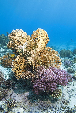 Fire coral and hard coral reef, Ras Mohammed National Park, off Sharm el Sheikh, Sinai, Egypt, Red Sea, Egypt, North Africa, Africa