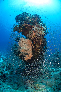Coral reef scene, shoal of glassfish (Arapriacanthus ransonneti), Ras Mohammed National Park, Sharm el-Sheikh, Red Sea, Egypt, North Africa, Africa