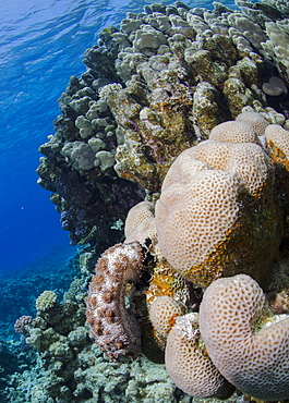 Blackmouth sea cucumber (Pearsonothuria graeffei) on coral reef, Ras Mohammed National Park, Sharm Eel-Sheikh, Red Sea, Egypt, North Africa, Africa