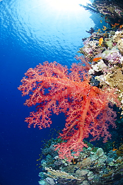 Pink soft coral, Ras Mohammed National Park, Sharm el-Sheikh, Red Sea, Egypt, North Africa, Africa