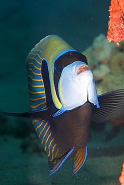Emperor angelfish  (Pomacanthus imperator), Naama Bay, off Sharm el-Sheikh, Sinai, Red Sea, Egypt, North Africa, Africa
