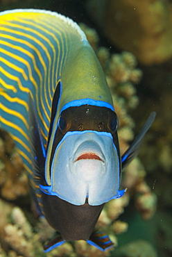 Emperor angelfish (Pomacanthus imperator) close-up, Naama Bay, off Sharm el-Sheikh, Sinai, Red Sea, Egypt, North Africa, Africa