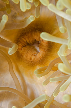 Close-up of mouth of magnificent anemone (Heteractis magnifica), Ras Mohammed National Park, off Sharm el-Sheikh, Sinai, Red Sea, Egypt, North Africa, Africa