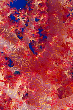 Macro shot of stem and branches of pink soft broccoli coral (Dendronephthya hemprichi), Ras Mohammed National Park, off Sharm el-Sheikh, Sinai, Red Sea, Egypt, North Africa, Africa