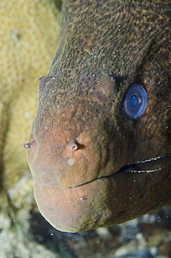 Close-up of the head of a giant moray (Gymnothorax javanicus), Ras Mohammed National Park, off Sharm el-Sheikh, Sinai, Red Sea, Egypt, North Africa, Africa