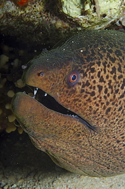 Giant moray (Gymnothorax javanicus), close-up of head, Ras Mohammed National Park, off Sharm el-Sheikh, Sinai, Egypt, Red Sea, Egypt, North Africa, Africa