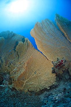 Giant sea fan coral (Gorgonian fan coral) (Annella mollis), Ras Mohammed National Park, off Sharm el-Sheikh, Sinai, Red Sea, Egypt, North Africa, Africa
