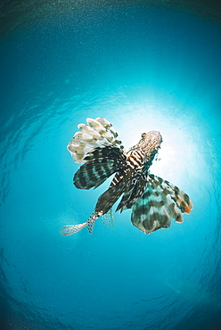 Common lionfish (Pterois miles) from below, back-lit by the sun, Naama Bay, Sharm El Sheikh, Red Sea, Egypt, North Africa, Africa