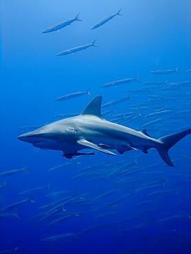 Blacktip shark (Carcharhinus limbatus). Species Near threatened. Shark and Yolanda, Sharm El Sheikh, South Sinai, Red Sea, Egypt.