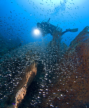 A Diver observing a Giant sea fan (Annella mollis) and the Glass fish (Parapriacanthus ransonneti) that have used its cover as a safe haven. Sharm El Sheikh, South Sinai, Red Sea, Egypt.