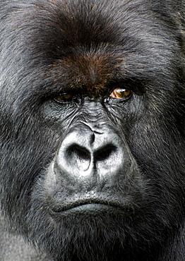 Tight headshot of a Mountain Silverback Gorilla, looking away. Volcanoes National Park, Virunga mountains, Rwanda, East Africa