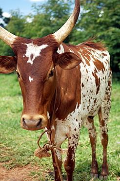 A brown and white Cow is grazing in Gulu Town, Northwest Uganda. Gulu Town, Uganda, East Africa