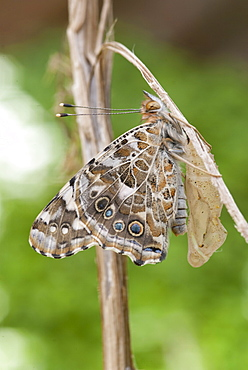 Adult painted lady butterfly shortly after emerging from chrysalis. The wings take over an hour to become strong enough to fly.. Isle of White, UK. Isle of White, UK - 978-415
