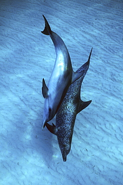 Atlantic Spotted Dolphin pair (Stenella frontalis) underwater on the Little Bahama Banks, Grand Bahama Island, Bahamas.