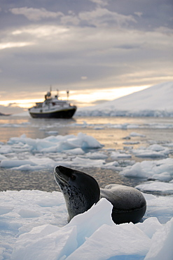 An adult Leopard Seal (Hydrurga leptonyx) hauled out with The National Geographic Endeavour at sunset in the Lemaire Channel near the Antarctic Peninsula.