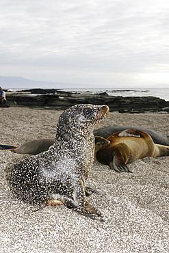Sand covered Galapagos sea lion (Zalophus wollebaeki) pup in Gardner Bay on Espanola Island in the Galapagos Island roup, Ecuador. Pacific Ocean.