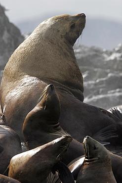 Steller (Northern) Bull Sea Lion (Eumetopias jubatus) hauled out with young animals, Southeast Alaska, USA.