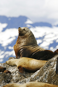 Adult bull northern (Steller) sea lion (Eumetopias jubatus) hauled out on the Brothers Island Group in Frederick Sound, Southeast Alaska, USA. Pacific Ocean