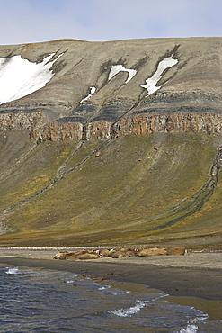 Adult male walrus (Odobenus rosmarus rosmarus) hauled out at Kapp Lee on the western side of EdgeØya (Edge Island) in the Svalbard Archipelago in the Barents Sea, Norway.