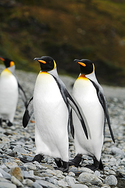 King penguins (Aptenodytes patagonicus) walking on the beach near a colony of nesting animals  numbering about 7,000 nesting pairs at Fortuna Bay on South Georgia Island, South Atlantic Ocean.
