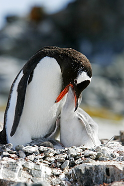 Gentoo penguin (Pygoscelis papua) parent feeding downy chick on Pleneau Island, near the Antarctic Peninsula.
