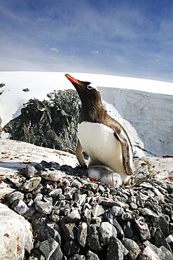 Gentoo penguin (Pygoscelis papua) parent with downy chick on Petermann Island, near the Antarctic Peninsula.