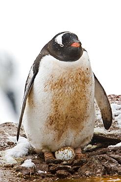 Adult gentoo penguins (Pygoscelis papua) nesting an egg on Petermann Island, Antarctica