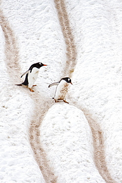 "Adult gentoo penguins (Pygoscelis papua) going and returning from sea to feed along well-worn ""penguin highways"" carved into the snow and ice in Neko Harbour in Andvord Bay, Antarctica"