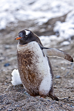 A VERY dirty (mud and feces) adult gentoo penguin (Pygoscelis papua) in Neko Harbour in Andvord Bay, Antarctica