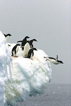 Adelie penguin (Pygoscelis adeliae) leaping off an iceberg to return to the sea to feed on Devil Island near the Antarctic Peninsula.