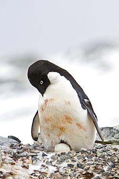 Adult Adelie penguin (Pygoscelis adeliae) sitting on an egg on breeding colony on Petermann Island, Antarctica