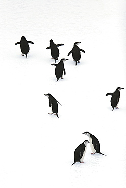 Adult chinstrap penguins (Pygoscelis antarctica) on icebergs in the South Orkney Island Group, Antarctica.