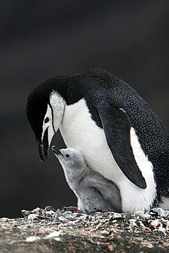 Chinstrap penguin (Pygoscelis antarctica) parent with downy chick on Deception Island, Antarctic Peninsula.