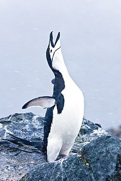 Adult chinstrap penguin (Pygoscelis antarctica) braying in a breeding colony in a snowstorm on Half Moon Island near Livingston Island in the South Shetland Islands near the Antarctic Peninsula