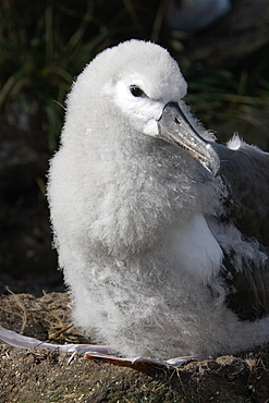 Black-browed albatross (Thalassarche melanophrys) downy chick at Devil's Nose on New Island in the Falkland Island Group, Falklands.