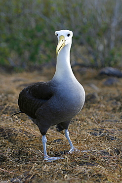 Adult waved albatross (Diomedea irrorata) on Espanola Island in the Galapagos Island Group, Ecuador. Pacific Ocean. This species of albatross is endemic to the Galapagos Islands.
